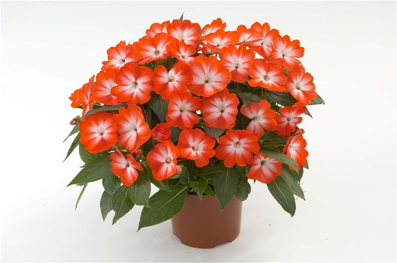 Impatiens Nova Gvinea - Petticoat Orange Star