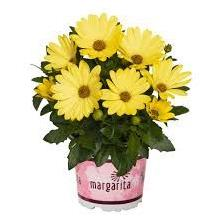 Osteospermum - Margarita Yellow