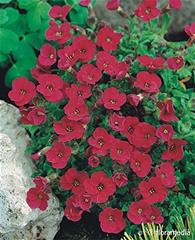 Aubrieta - royal red