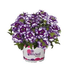 Verbena grmasta - Wicked Great Grape