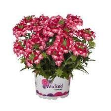 Verbena puzeća - Wicked Pink Pepper